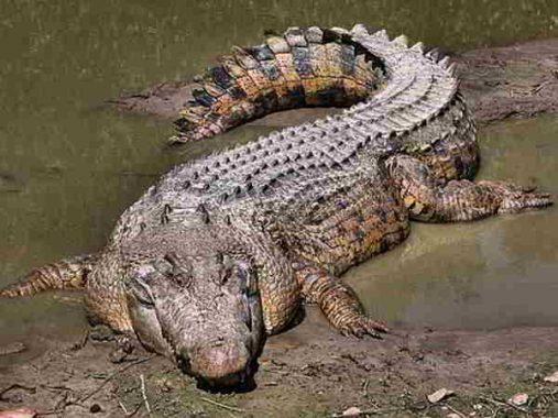 Mơ thấy cá sấu là điềm báo gì, đánh số nào dễ trúng?