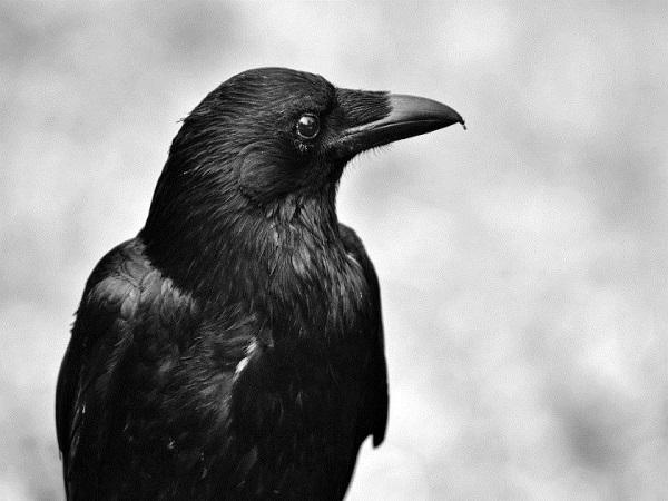 Ngủ mơ thấy con quạ có phải điềm xấu?