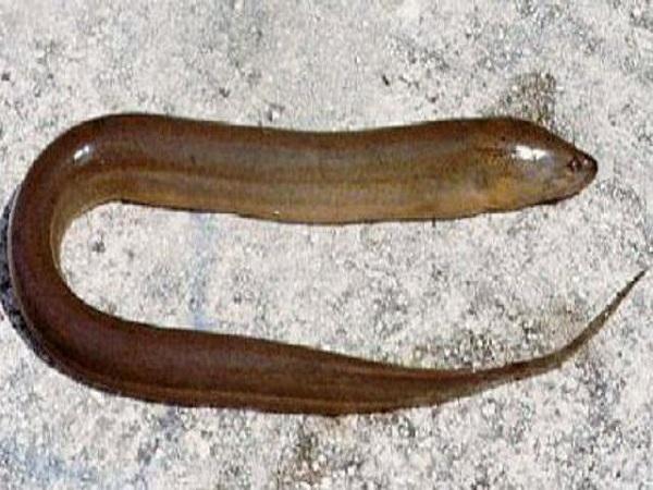 Việc mơ thấy con lươn có ý nghĩa gì?
