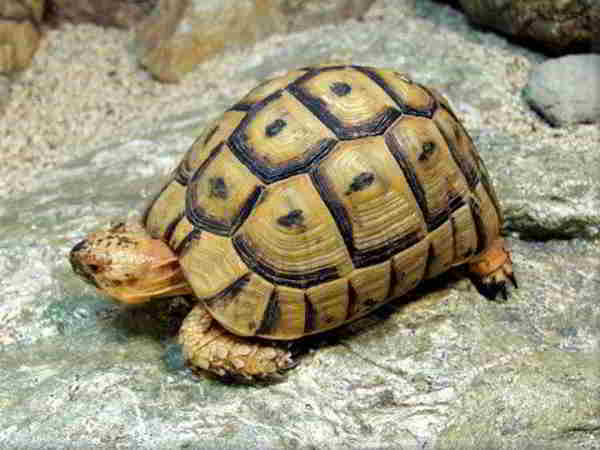 Ngủ mơ thấy rùa có phải điềm báo tốt lành?