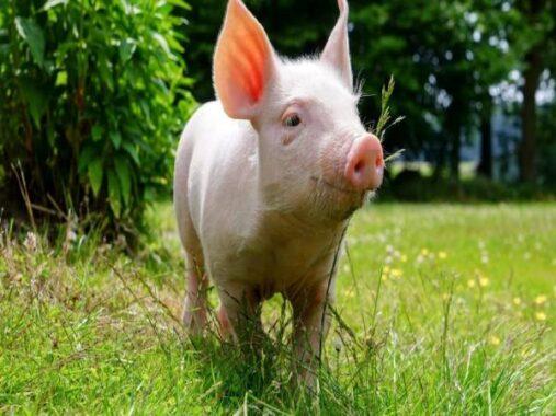 Nằm mơ thấy lợn đánh số mấy ? Là điềm tốt hay xấu ?